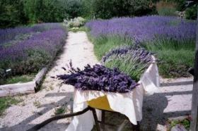 Stoney Hollow Lavender's 7th Annual Lavender Harvest Celebration